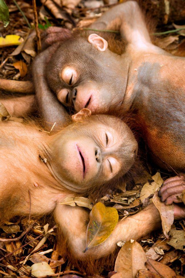 Sleeping baby orangutans