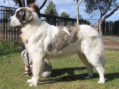 I want this one too!!!  Breton Grande Y Grato (Australia), the Beautiful Pyrenean Mastiff