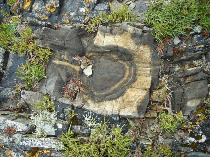 Feature in the rock. (Tree trunk?) Knockadoon coast. Co. Cork