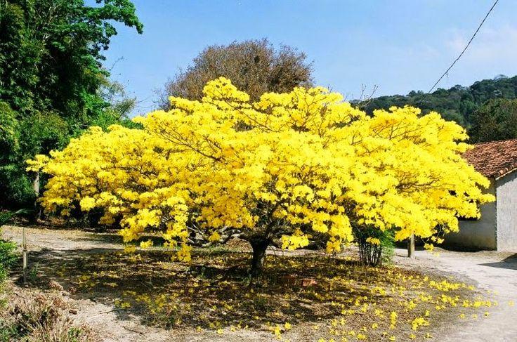 Ipê amarelo   -   ♥♥