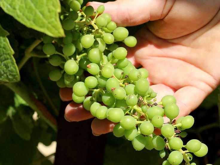 Gros plan sur une belle grappe de raisins.