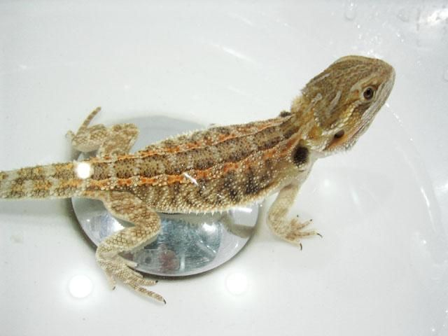 How To Properly Bathe a Bearded Dragon