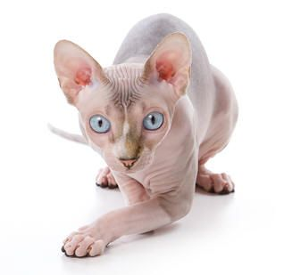 hairless spinx cat - Google Search
