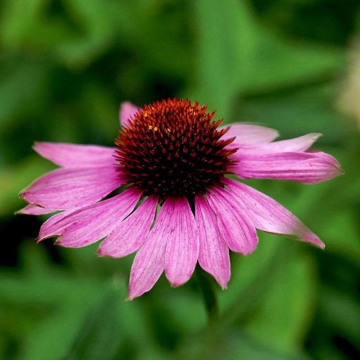 Röd rudbeckia alltid lika vacker.   #rudbeckia #echinacea #purpurea #rödsolhatt #flowers #flowergarden #instaflower  #odling #trädgårdsprodukter #wexthuset  #odlingstillbehör #odla2017 #ekoodling #växthus #inomhusodling #fröer #urbangardening #trädgårdsredskap #odlingstips #trädgårdsinspiration #frifrakt