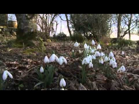 Life in a Cottage Garden w/ Carol Klein. 1 of 6 (YouTube) Snowdrops/Hellebores/layering a hedgerow