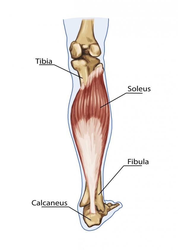 calf anatomy, bigger calves, calf exercises, calf training, calf muscles