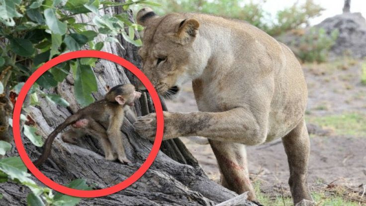 Watch what did this lionesses with a baby baboon After Killing His Mother? truly defies nature !