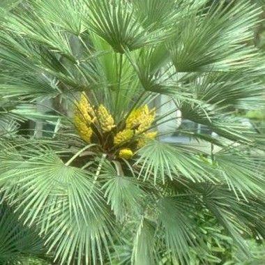 Chamaerops humilis 'Cerifera' / inflorescence courte
