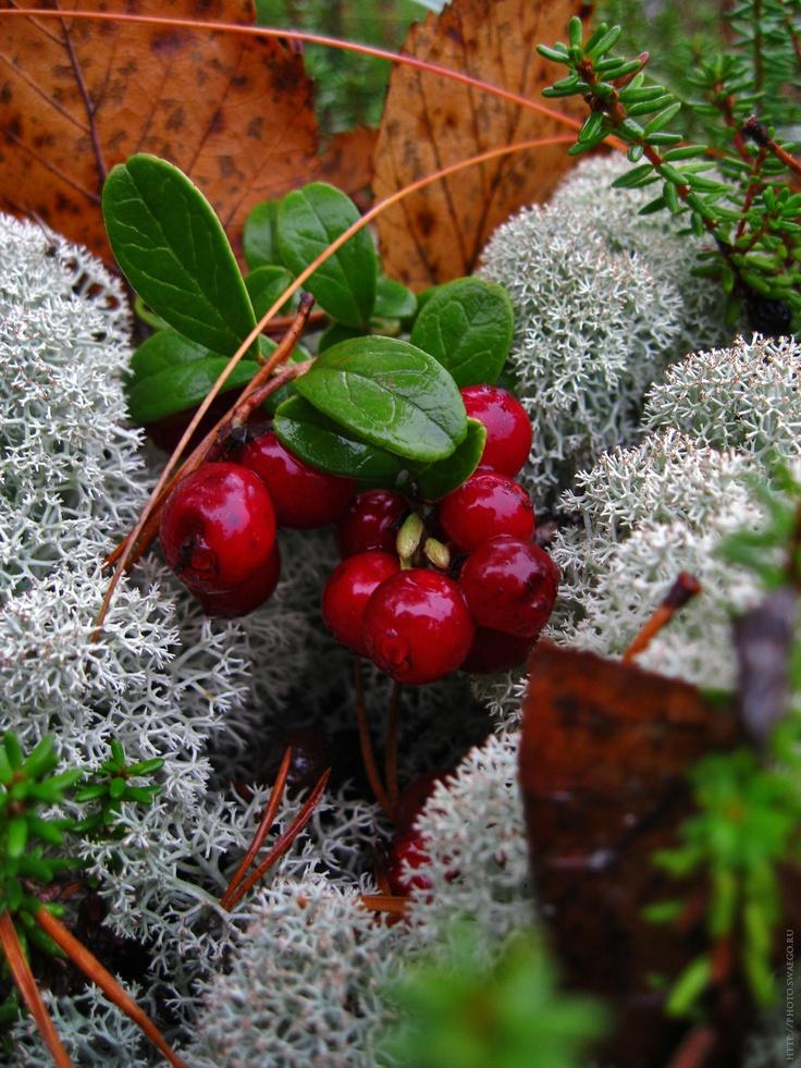 Karelija. Autumn 2012  cowberry