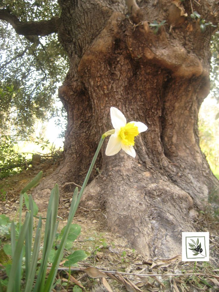 Under the shade of the olive tree. #Spring, #daffodils, #olive_tree