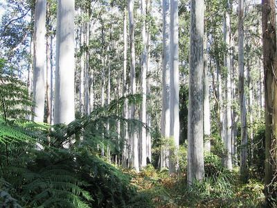 Blue Gum Forest Walk - Blue Gum Forest is a place of great beauty and serenity. It is located at the Govetts Creek junction and the Grose River. It's a perfect place  for outdoor adventure and relaxation.