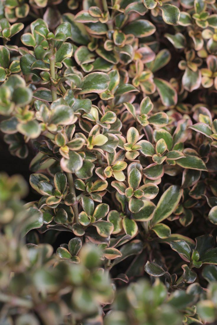 9 best Plants A to Z images on Pinterest   Backyard, Backyards and ...
