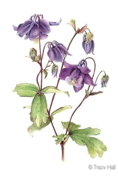 purple aquilegia watercolour flower painting by tracy hall