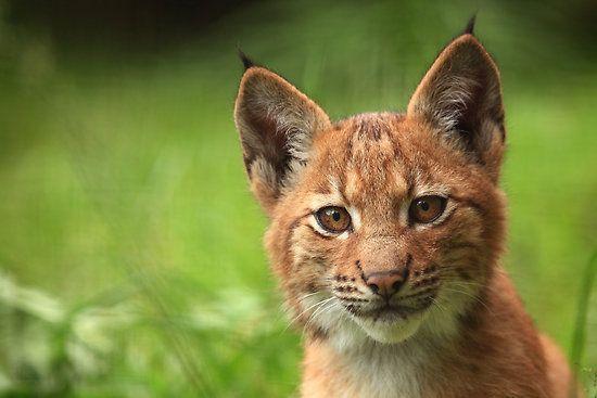 """Baby Lynx at *Zoo Liberec, Czech Republic*""  [Photographer Daniela Pintimalli]'h4d'120922"