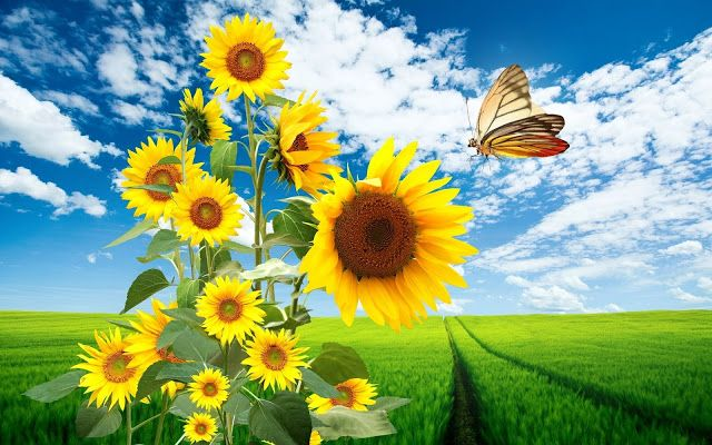 Wallpapers Sols Nature Sunflowers Hd Wallpapers Sunflower Wallpaper Flowers Nature Sunflower