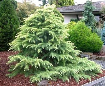 Cedrus deodara 'Silver Mist' (Deodar Silver Mist Himalayan cedar. Zones 6-9. This ornamental cedar variant grows only 6 inches per year. After 10 years it may only attain a height of 6' and a width of 2'-3'. On better sites full sized mature plants may eventually exceed 10'. Soft, whitish needles are borne on slightly drooping branches.
