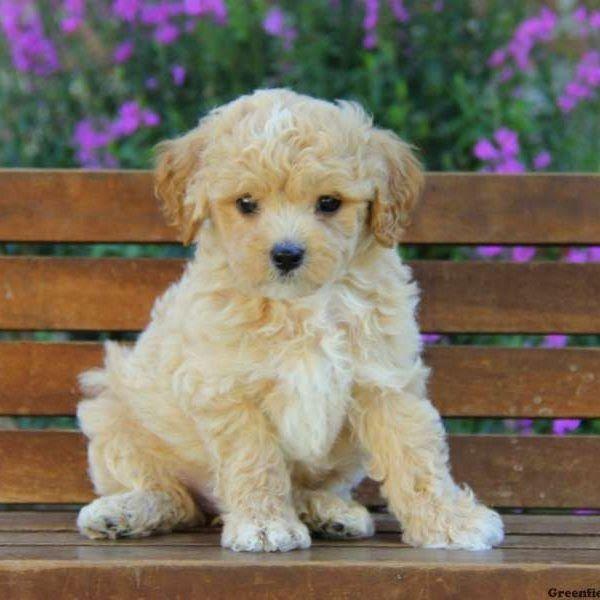 Maltipoo Puppies For Sale In Iowa Maltipoo Puppy Maltipoo Dog Maltipoo Puppies For Sale