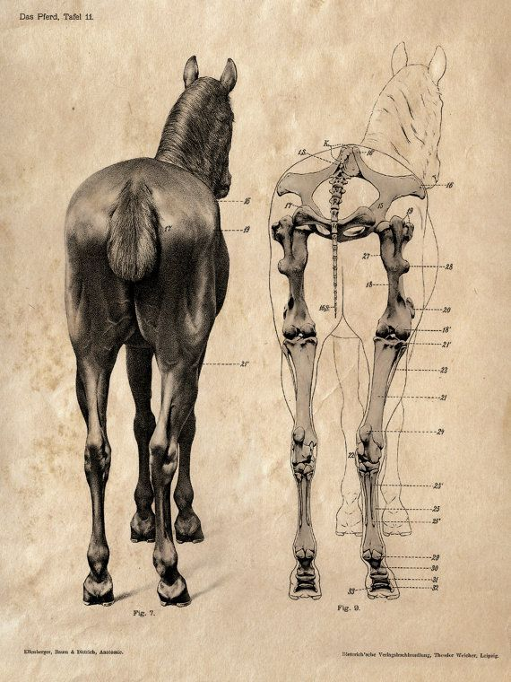18x24 Vintage Science Animal Study Poster. Horse Anatomy. Back CP-AN007B