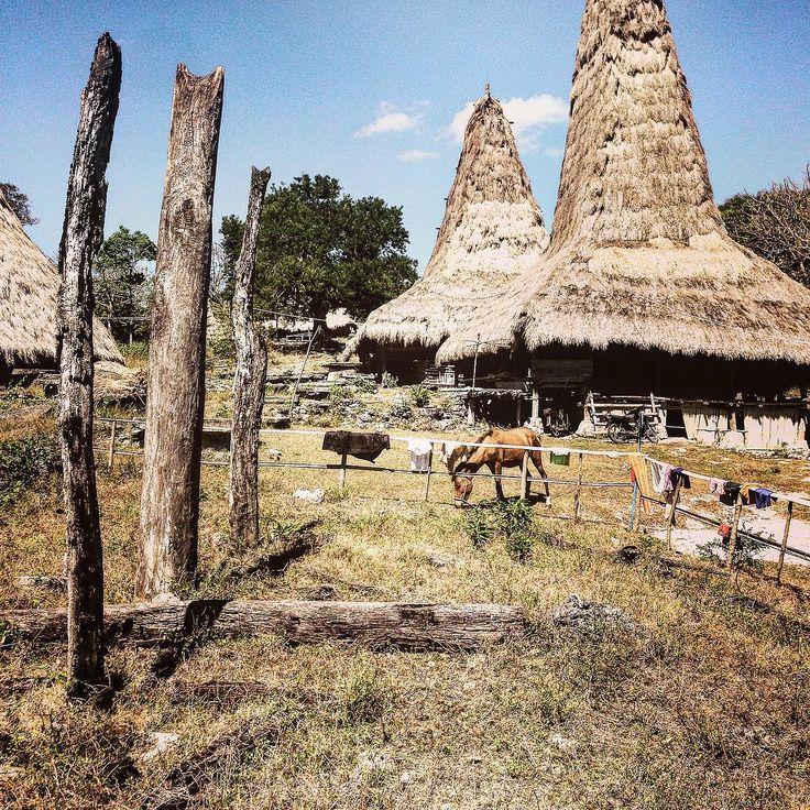 Sumbanese village with traditional Marapu roofed house made of Alang grass, Indonesia