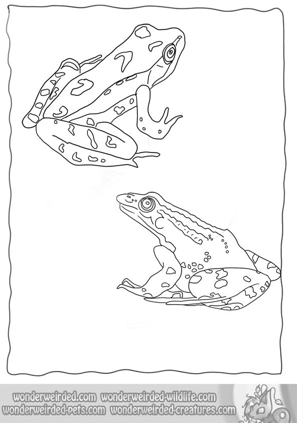 realistic frog coloring pages wonderweirded wildlife from our free animal coloring sheets collection frog
