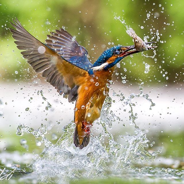 """""""Drops of Life"""" - Mr. Kingfisher in action, have a great day. Image taken with Nikon D3s + Nikkor 70-200 2.8. Photo credit #maxrinaldi"""