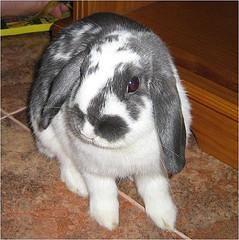 Tipos de Conejo Belier