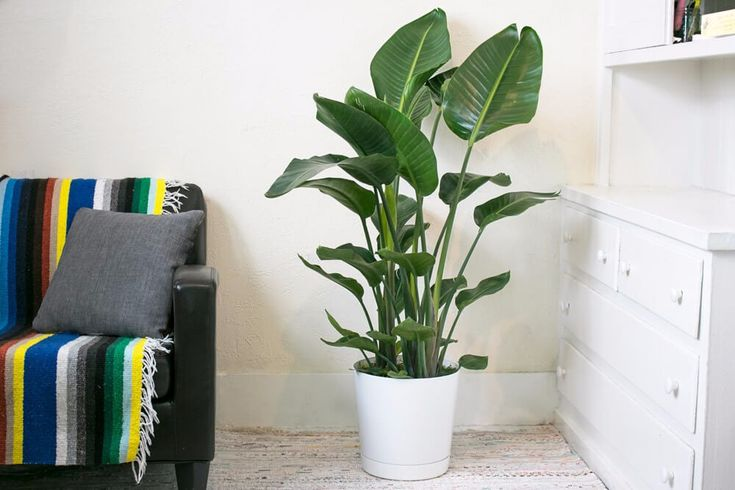 Bird of Paradise - Free plant delivery in the San Francisco and Los Angeles areas by Léon & George