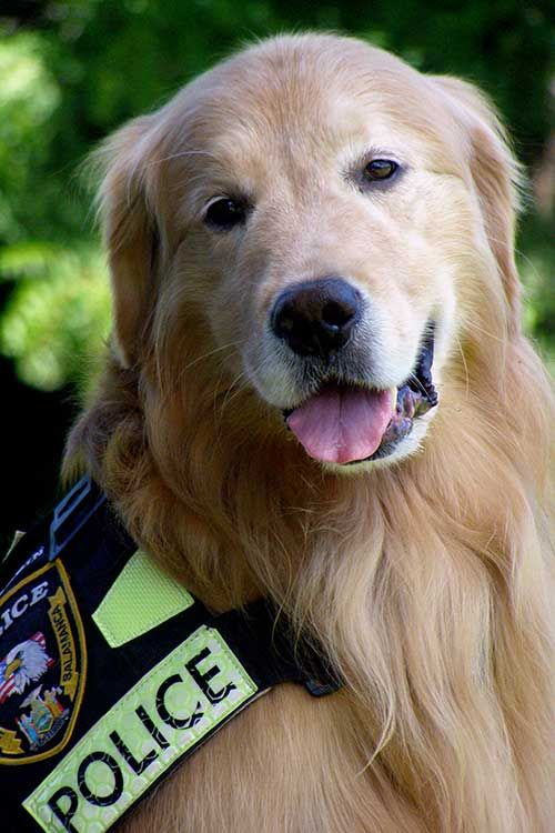 Golden Retriever Dog Breed Information Dogs Dogs Golden