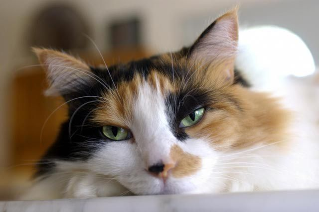 The History and Markings of the Tortoiseshell Cat: Tortoiseshell Cats Profile
