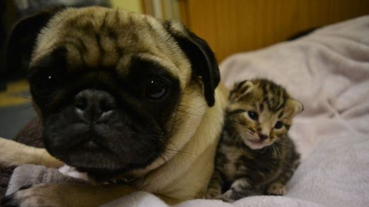 Tiny Kittens Find New Mum In 'Peppa Pug' After Being Abandoned By Their Own Mother (VIDEO)