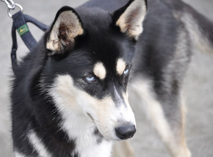 German shepherd husky mix: German Shepherd Husky, Epic Dogs, Black ...