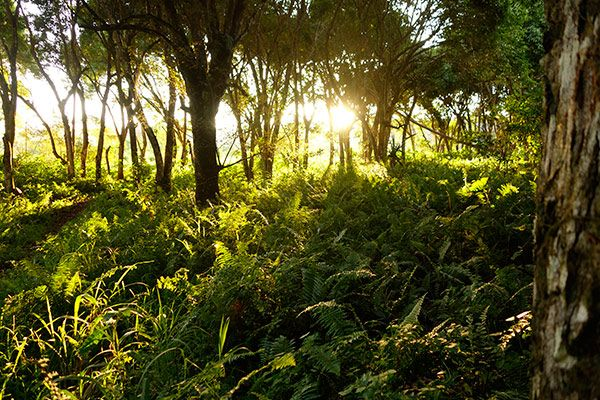 Afternoon rays penetrating through the jungle as it sets over the weekend, Efate Island.