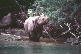 Javan Rhinos - Endangered Rhinos - Save the Rhino One of the rarest large mammal on earth