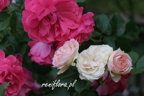 róża Pastella z Rosarium Uetersen