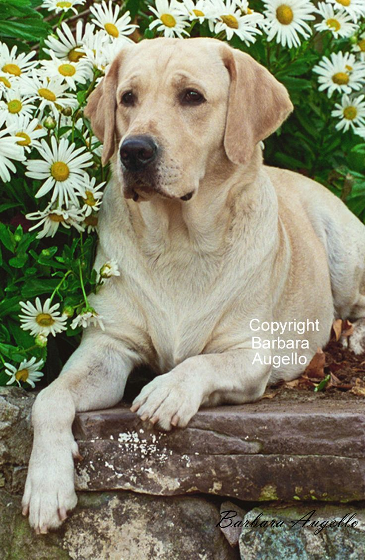 Yellow Lab Flag By Barbara Augello For