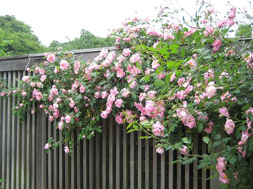 Roses In Garden: The Best All Summer Blooming Climbing Roses