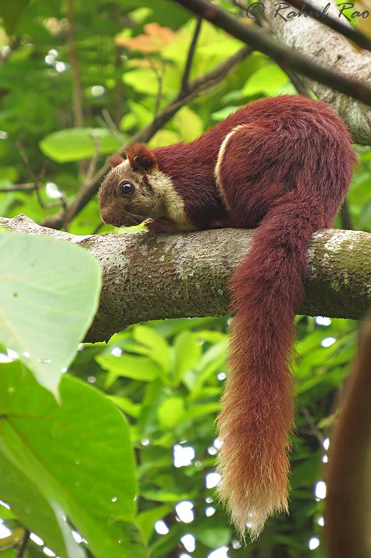 essay on the giant squirrel of the western ghats