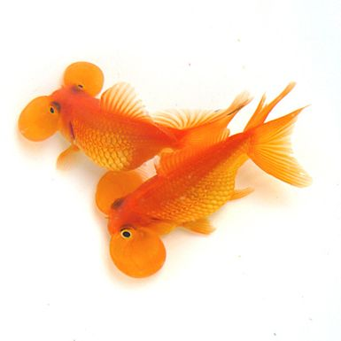Bubble eye fancy goldfish