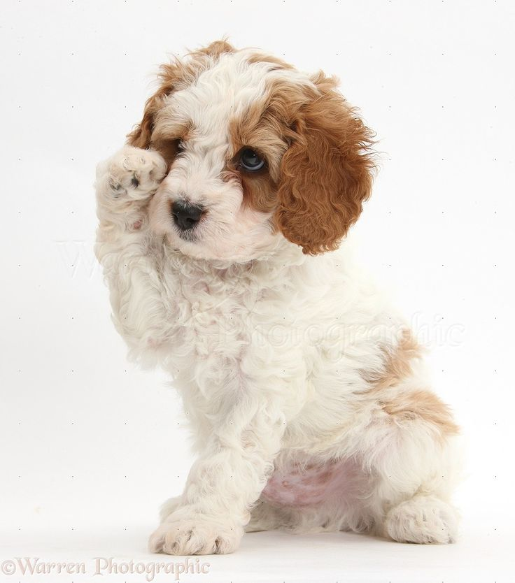 Cute red-and-white Cavapoo puppy, 6 weeks old