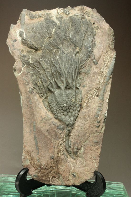 まるで海中を漂うかのようなウミユリ化石(Scyphocrinus elegans)
