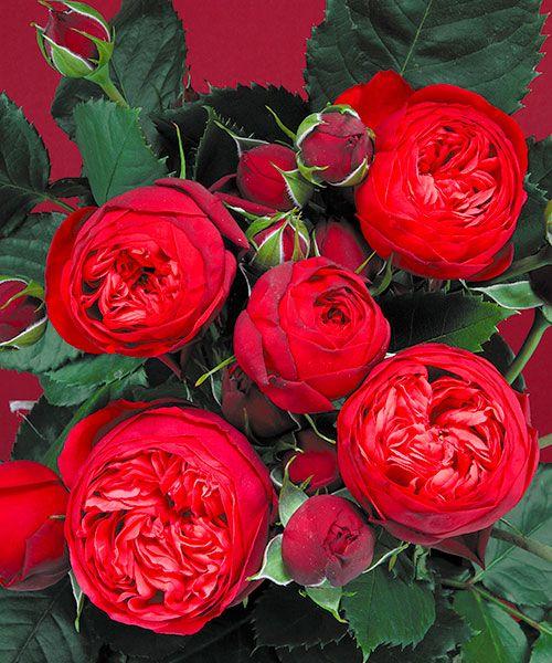 Růže ´Piano´ - voňavá. Rosa. Velké, malinově červené květy, které vydrží kvést zvláště dlouho. Výška:asi 110 cm.