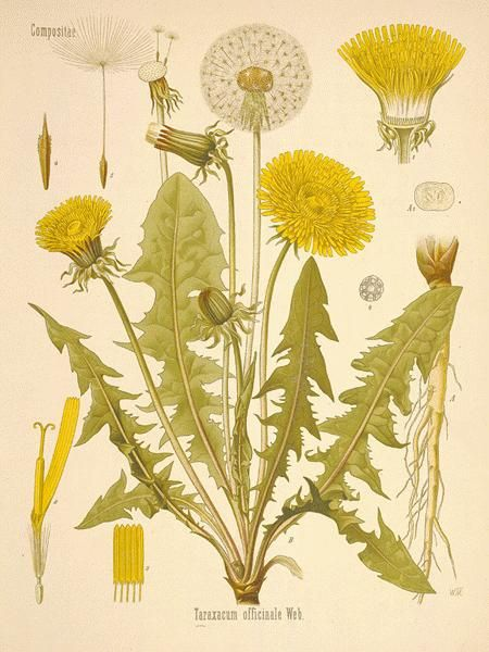 Common Dandelion - from A Modern Herbal