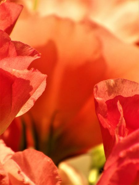 The heart of rose Photo by Plesea Magdalena — National Geographic Your Shot
