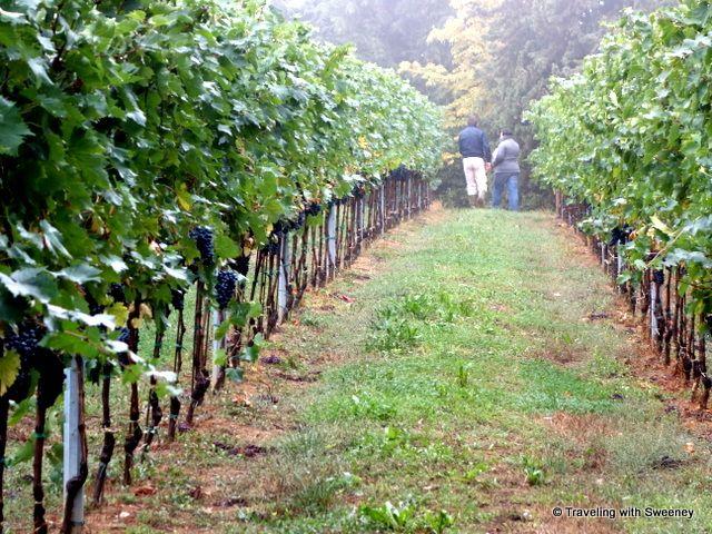 Riccardo Castaldi & @Alessandra Afonso Catania  walking in the vineyard at Tenuta Masselina, Castel Bolognese, #Italy #winewednesay