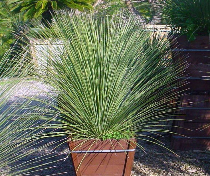 12 Best Images About Grasses Sedges Cordylines And Such