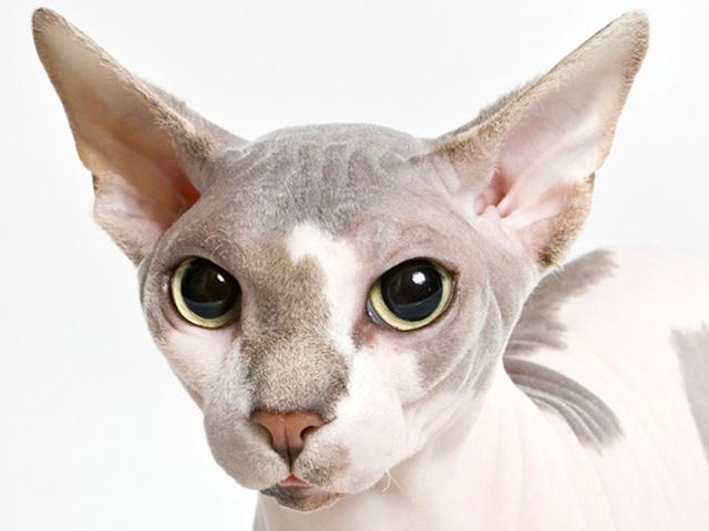 Risultati immagini per сфинксы кошки с шерстью