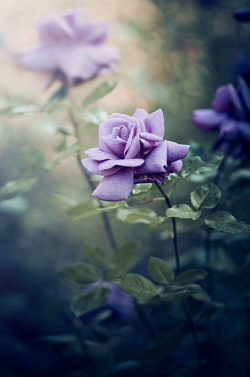"minarachelle: ""beautiful mauve rose | via Tumblr op We Heart It """