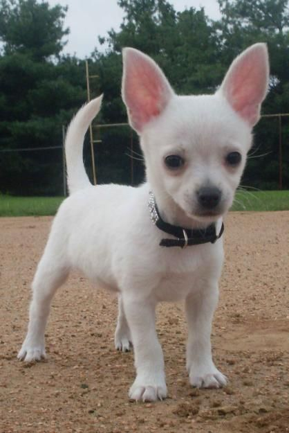 Applehead Chihuahua Puppies   GORGOUS CHIHUAHUA PUPPY - lanis - Dogs for sale, puppies for sale ...