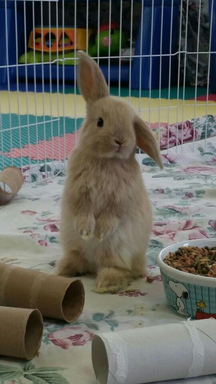 Holland lop bunnies. 3 week old bunny, lop ear bunny, bunny sitting up, bunny rabbit, rabbits, bunnies