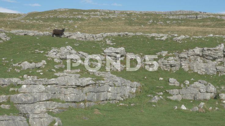 4K Black Sheep on Peak of Malham Cove Cliff Lime Stone Rocks Countryside - Stock Footage   by RyanJonesFilms